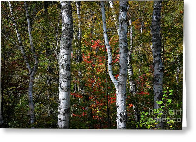 Greeting Card featuring the photograph Birches by Elena Elisseeva