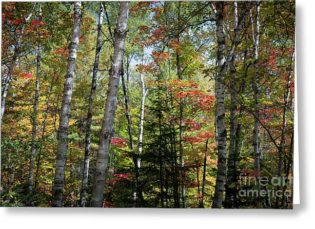 Greeting Card featuring the photograph Birches In Fall Forest by Elena Elisseeva