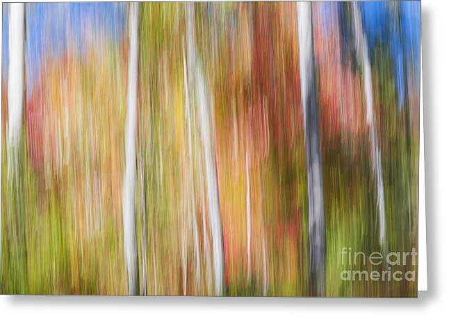 Birches In Sunny Fall Forest Greeting Card by Elena Elisseeva