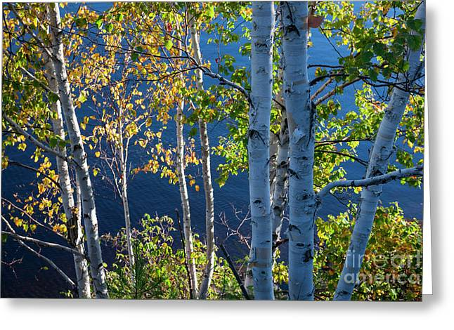 Birches On Lake Shore Greeting Card