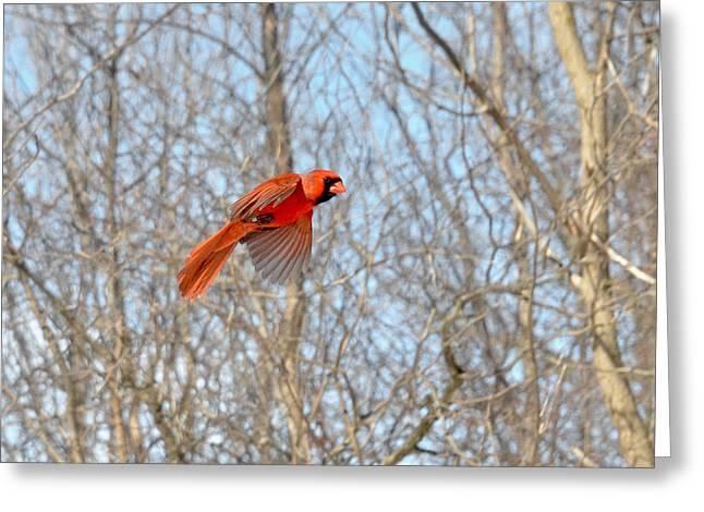 Bird Banding - Cardinal Greeting Card