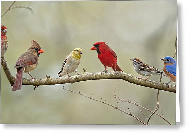 Male Northern Cardinal Greeting Cards - Bird Congregation Greeting Card by Bonnie Barry