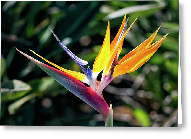 Bird Of Paradise Greeting Card by Brad Granger