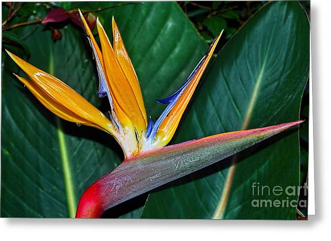 Bird Of Paradise By Kaye Menner Greeting Card by Kaye Menner