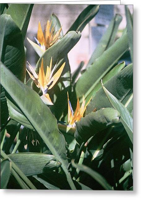 Bird Of Paradise Greeting Card by E M Murray