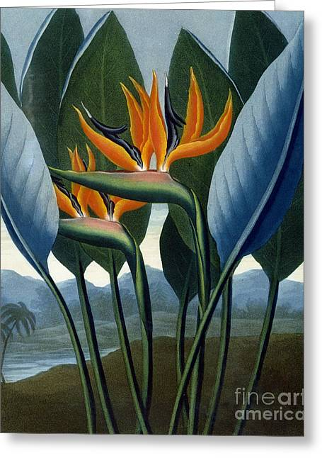 Bird Of Paradise Flower  The Queen Greeting Card by Peter Charles Henderson