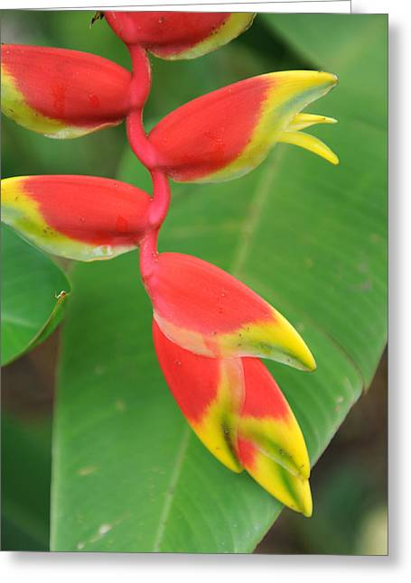 Bird Of Paradise Greeting Card by Jessica Rose