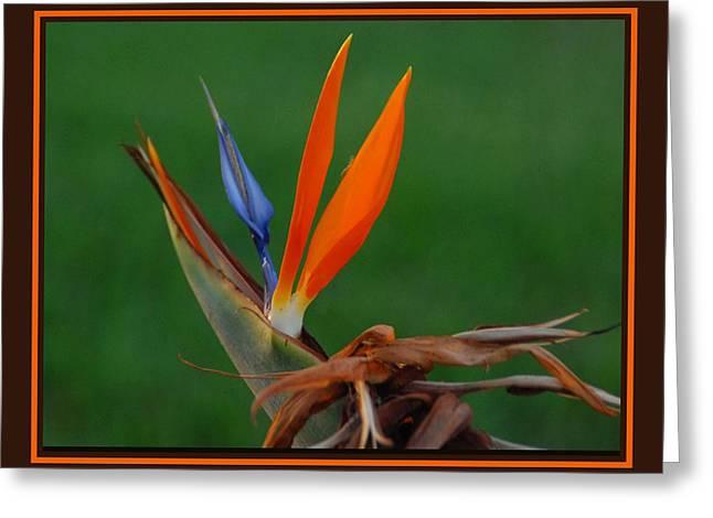 Bird Of Paradise Greeting Card by Joseph Martin