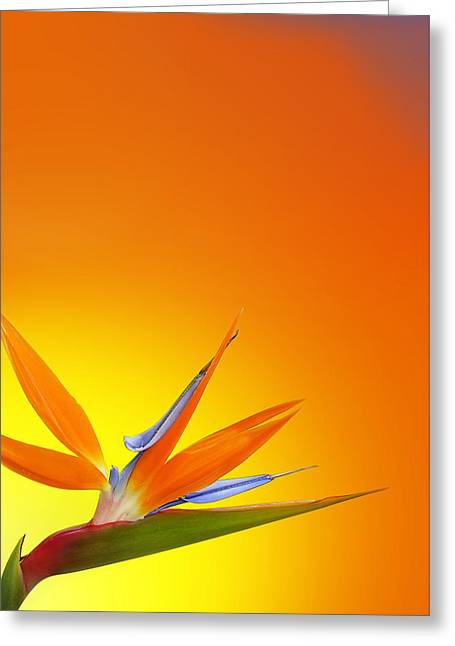 Bird Of Paradise Orange Greeting Card by Mark Rogan