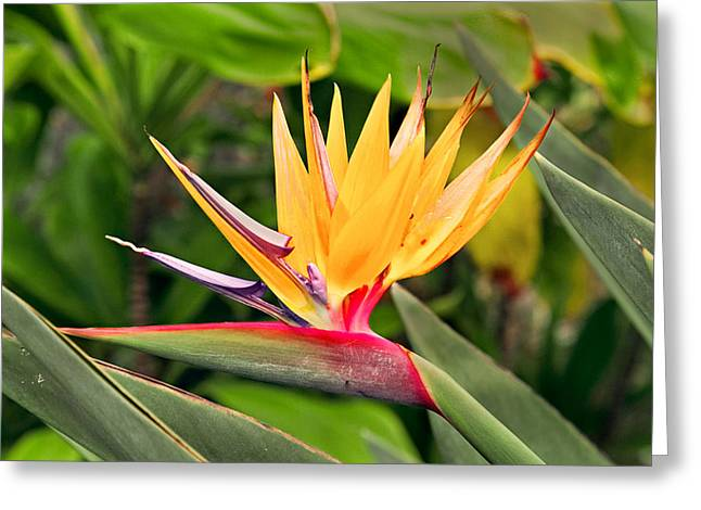 Bird Of Paradise Photo Greeting Card by Peter J Sucy