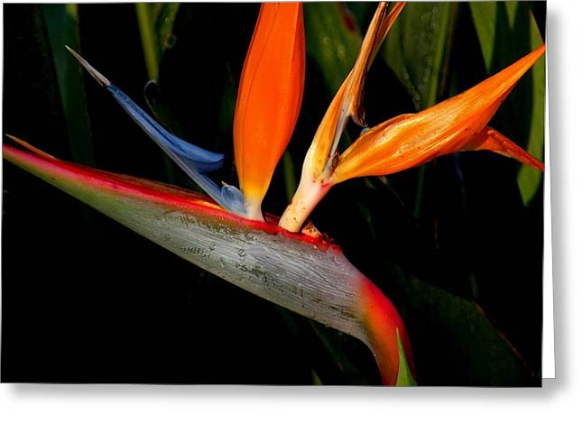 Bird Of Paradise Greeting Card by Rosalie Scanlon