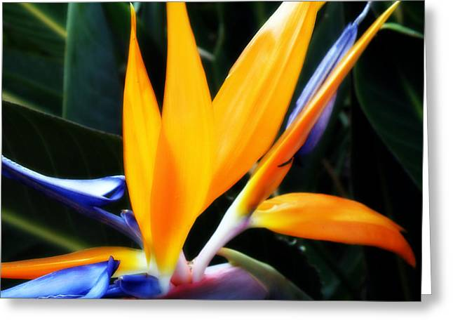 Bird Of Paradise Greeting Card by Rose  Hill