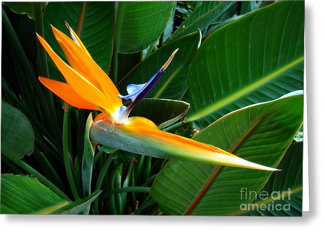 Greeting Card featuring the photograph Bird Of Paradise by Sue Melvin