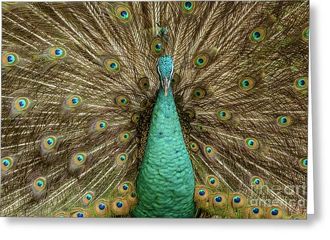 Peacock Greeting Card by Werner Padarin