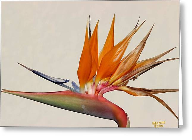 Bird Of Paradise With White Background Greeting Card