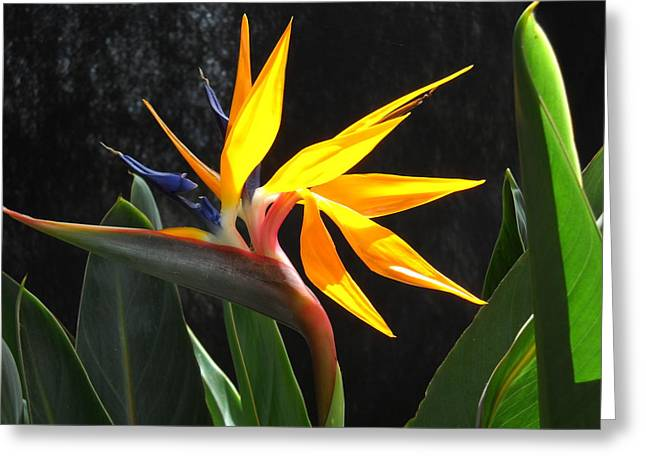 Greeting Card featuring the photograph Bird Of Paradise by Yolanda Koh