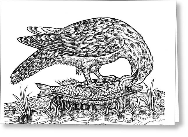 Bird Of Prey, 1555 Greeting Card by Middle Temple Library