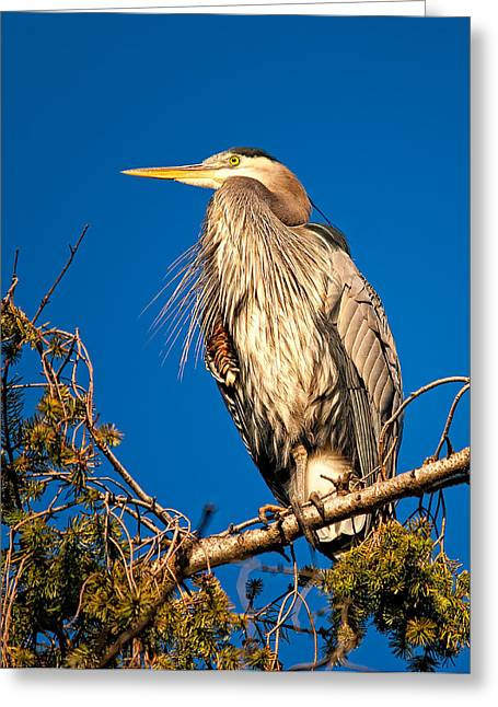 Bird On Tree Greeting Cards - Birds of BC - No.7 - Great Blue Heron - Ardea herodias Greeting Card by Paul W Sharpe Aka Wizard of Wonders