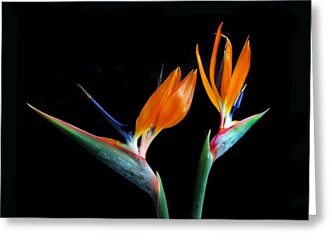 Birds Of Paradise Greeting Card by Terence Davis