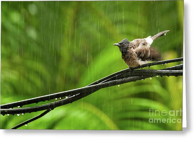 Birds Of Sri Lanka  Pycnonotus Cafer Greeting Card by Venura Herath