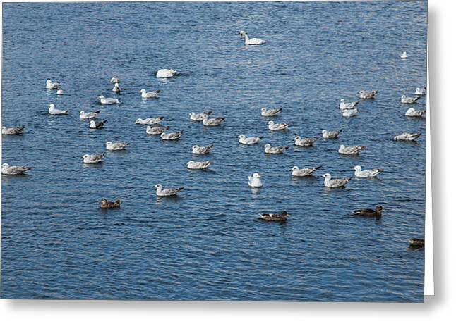 Cygnus Greeting Cards - Birds on the water Greeting Card by Gabriela Insuratelu