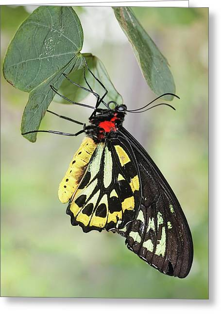 Greeting Card featuring the photograph Birdwing Butterfly I by Dawn Currie
