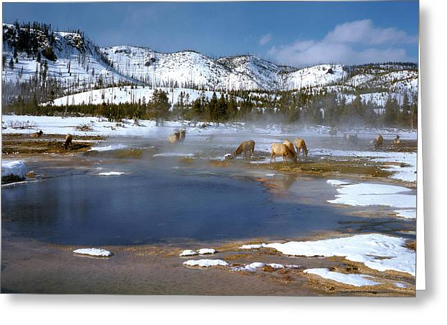 Biscuit Basin Elk Herd Greeting Card by Ed  Riche
