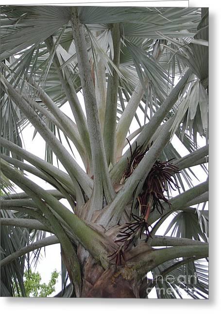 Bismark Palm Greeting Card by Dodie Ulery
