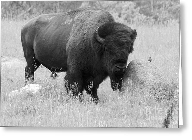 Bison And Buffalo Greeting Card