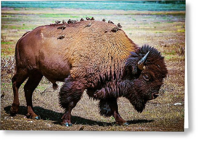 Bison And The Birds Greeting Card by Mary Hone