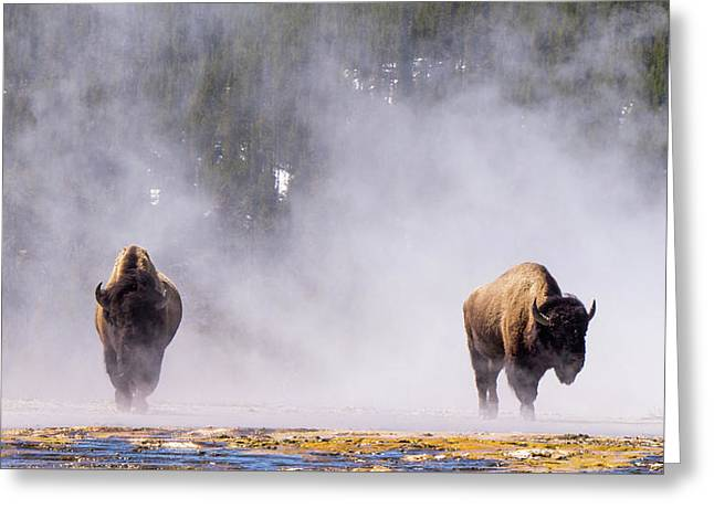 Bison At Biscuit Basin Greeting Card