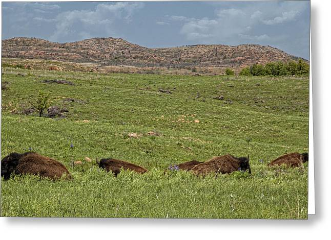 Bison At Rest Greeting Card