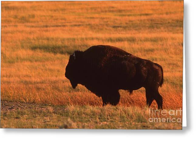 Greeting Card featuring the photograph Bison At Sunset by Edward R Wisell