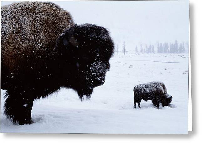 Bison Bison Bison In The Snow Greeting Card by Joel Sartore