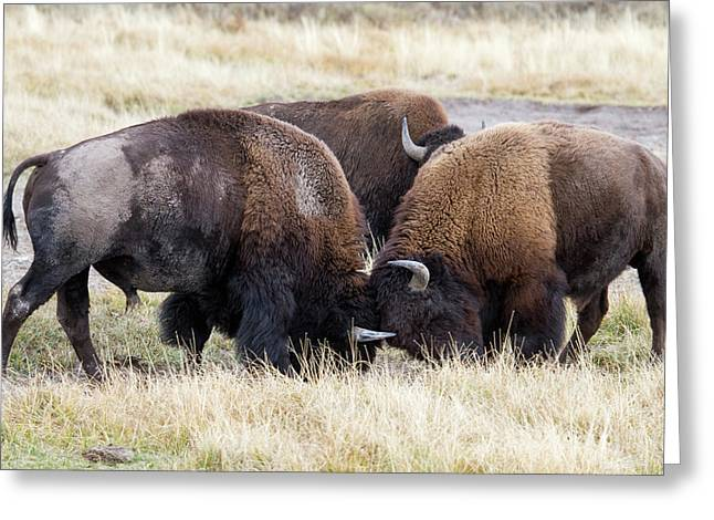 Bison Fight Greeting Card