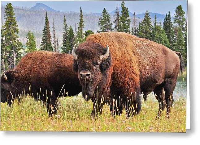 Yellowstone National Park Greeting Cards - Bison Greeting Card by Greg Norrell