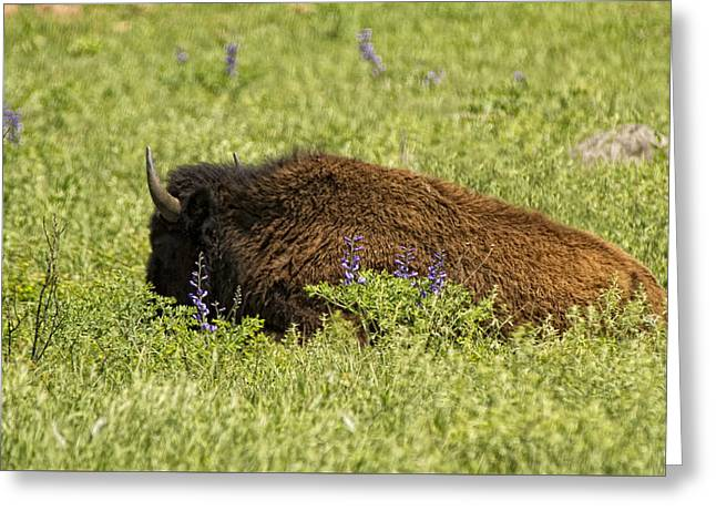 Bison In Bluebonnests Greeting Card