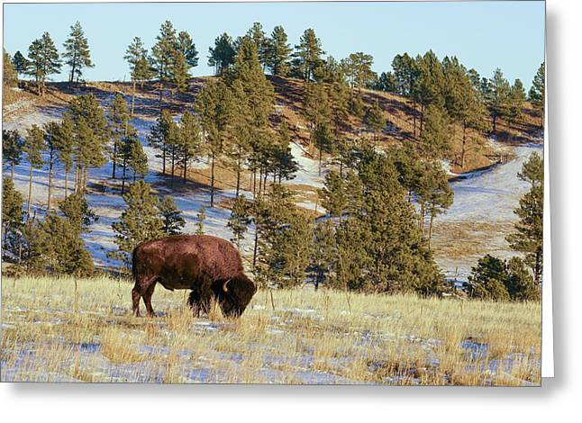 Bison In Custer State Park Greeting Card