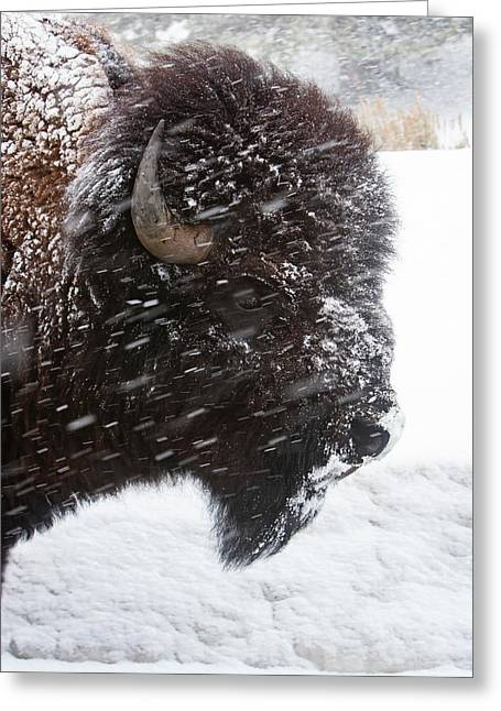Bison In Snow Greeting Card