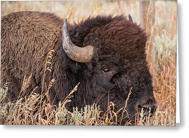 Bison In The Grass Greeting Card by Mary Hone