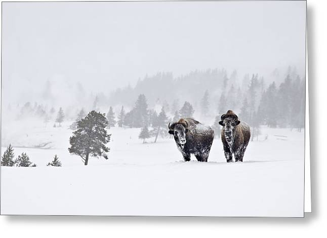 Bison In The Snow Greeting Card