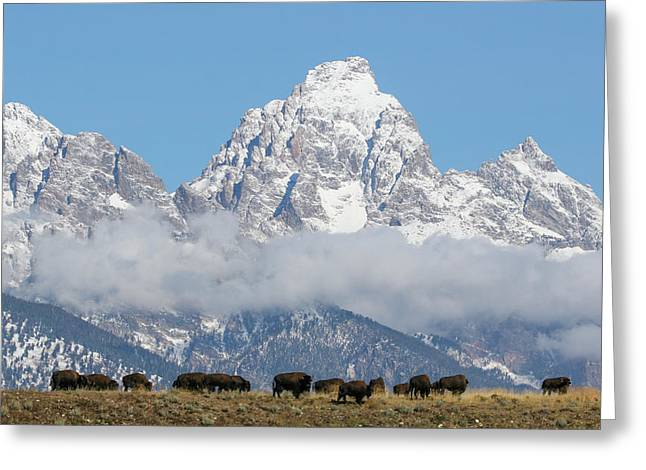 Bison In The Tetons Greeting Card