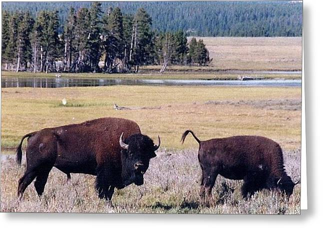 Bison In Yellowstone Greeting Card