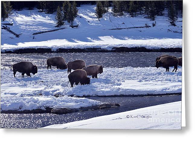 Greeting Card featuring the photograph Bison On River Strand Landscape by Kae Cheatham
