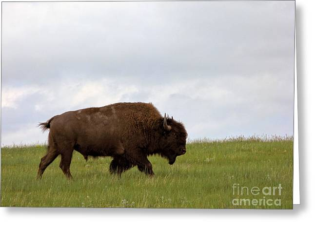 Bison On The American Prairie Greeting Card by Olivier Le Queinec