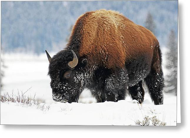 Bison Roaming In The Lamar Valley Greeting Card
