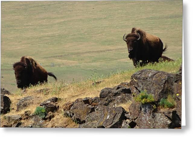 Bison Watch Greeting Card