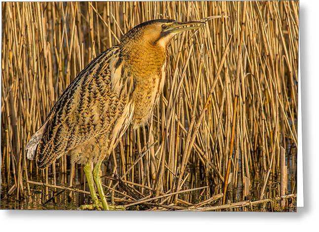 Bittern Botaurus Stellaris Greeting Card