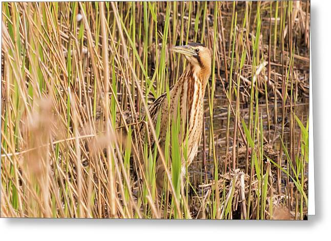 Bittern In The Reeds Greeting Card