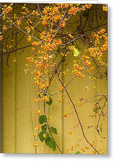 Bittersweet Vine Greeting Card